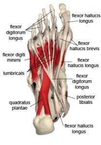Plantar muscles of the foot